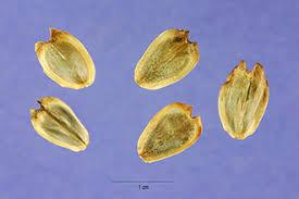 Plants Profile for Silphium perfoliatum (cup plant)