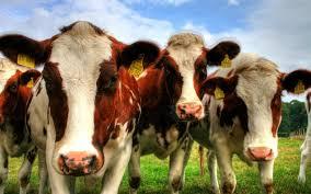 Hasil gambar untuk foto sapi di glonggong