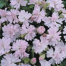 Silene pendula 'Peach Blossom' seeds   Thompson & Morgan