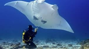 Image result for sangalaki manta