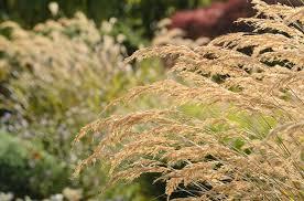 Stipa calamagrostis (Spear Grass)