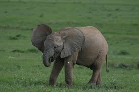 Image result for baby elephant sucking trunk