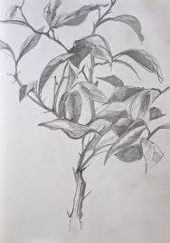 lemon tree x: pencil sketch on paper  x mm lemon tree