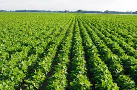 Image result for soybeans