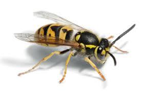 Bildergebnis für Wespen