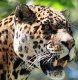 Зоологический форум / <b>Бразильская фила</b>, или бразильский ...