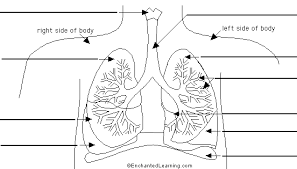 label lungs diagram printout   enchantedlearning comlungs to label