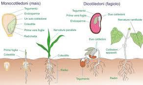 Atlante di Botanica: Monocotiledoni e Dicotiledoni