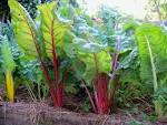 Images & Illustrations of chard plant