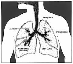 lungs diagram    medical anatomy lungs lungs diagram png html