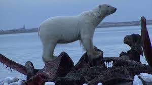 polar bears eating whale carcass polar bears eating whale carcass