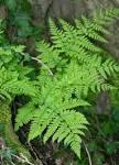 Images & Illustrations of broad buckler-fern