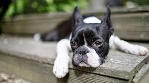 Собака <b>Бостон</b>-<b>терьер</b>: описание породы, фото, цена щенков ...
