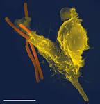 free phagocyte