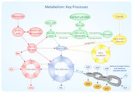 conceptdraw samples   science and education   biologysample    metabolic pathway map   metabolism  key processes