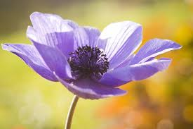 62 Types of <b>Purple Flowers</b> with Pictures | Flower Glossary