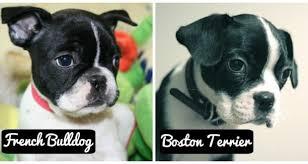 <b>Бостон</b>-<b>терьер</b> и французский бульдог: отличия собак в ...