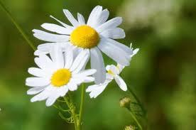 Информация о <b>растении</b> лекарственной <b>ромашки</b> - Wikifarmer