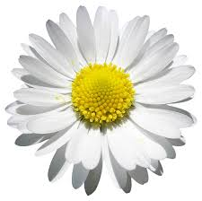 Image result for daisy photo