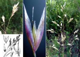 Corynephorus articulatus (Desf.) P.Beauv. - Portale della Flora di ...
