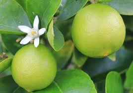 Limes on the tree with flower