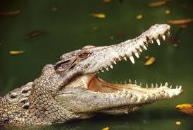 Resultado de imagen de caimánes
