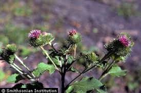 Plants Profile for Arctium lappa (greater burdock)
