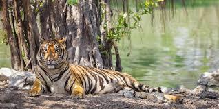 Hasil gambar untuk harimau