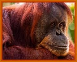 Chimpancés y orangutanes