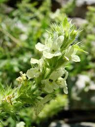 Sideritis hyssopifolia – Wikipédia, a enciclopédia livre