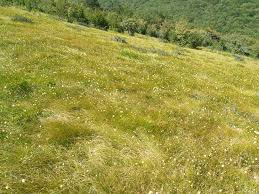 Mediterranean-montane grasslands with Sesleria tenuifolia in wind ...
