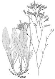 Limonium serotinum — Italiano