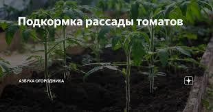 Подкормка <b>рассады</b> томатов | <b>Азбука</b> огородника | Яндекс Дзен