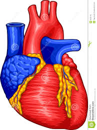 Image result for Human heart