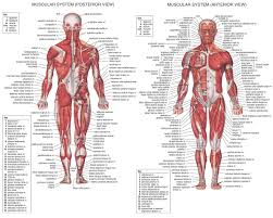 organs of the digestive tract in order digestion five paragraph anatomy of the body muscles