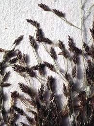 Online Virtual Flora of Wisconsin - Eragrostis pilosa var. pilosa