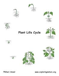 writing service   essay on plant life cycle cause and effect of  plant essay on cycle life
