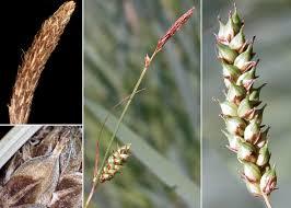 Carex distans L. - Portale sulla flora del basso corso del Lamone ...