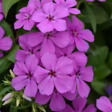 Gisele® <b>Light Violet</b> Phlox