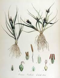 File:Carex-oederi-subsp-oederi Flora batava.jpg - Wikimedia ...