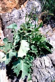 Brassica macrocarpa - Wikipedia