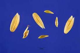 Plants Profile for Holcus lanatus (common velvetgrass)