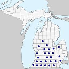 Sclerochloa dura - Michigan Flora