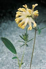 Anthyllis vulneraria subsp. valesiaca