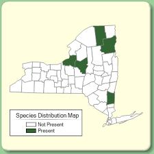 Juncus conglomeratus - Species Page - NYFA: New York Flora Atlas