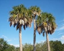 Species: Cabbage Palmetto - SCDNR