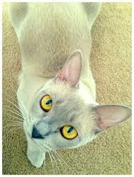 A 1 year old lilac <b>Burmese kitten</b> • • • • • #kitten #kitties #cute ...