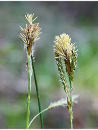 Carex magellanica ssp. irrigua (Boreal bog sedge) | Native Plants of ...