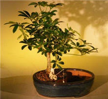 picture of a good indoor office plants bonsai tree office table