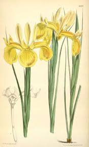 File:Iris juncea.jpg - Wikimedia Commons